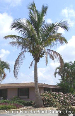 coconut palm in a home landscape