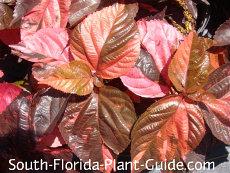 Red variety leaf detail