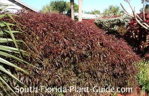 mini-leaf copper plant grown in sun