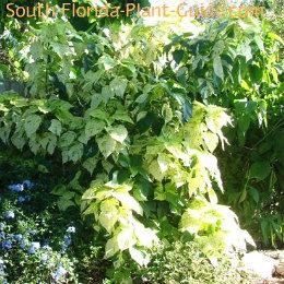white copper plant