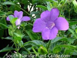 coral creeper purple flower