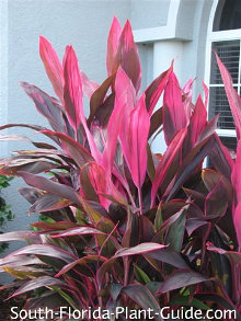 cordyline 'Red Sister'