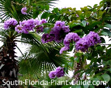 Queen crape's purple blooms