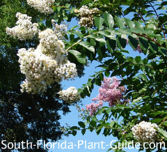 white and lavender crape myrtle