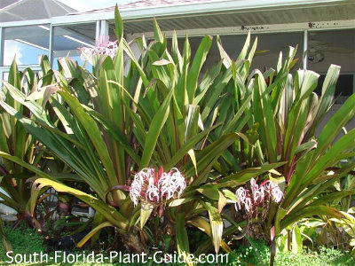 Queen Emma crinum lilies along a pool cage