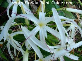 white crinum lily flower