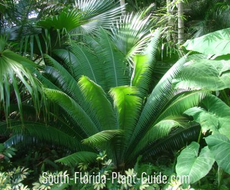 Dioon cycad plant in a tropical landscape