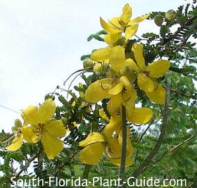 desert cassia flowers