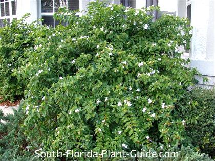 Large downy jasmine shrub by a house