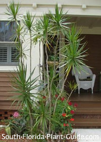 dracaena marginata accents an entryway