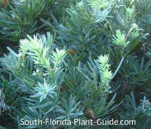 dwarf podocarpus foliage