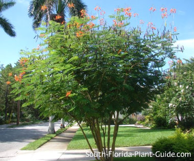 Multi-trunk dwarf poinciana tree in a front yard