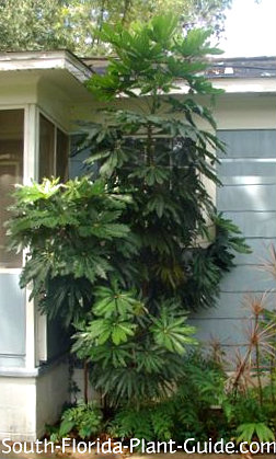Large false aralia next to a house