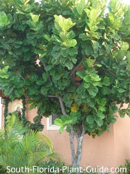 fiddle leaf fig by a house
