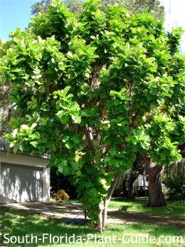 fiddle leaf fig as a front yard specimen