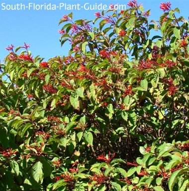 Florida native firebush
