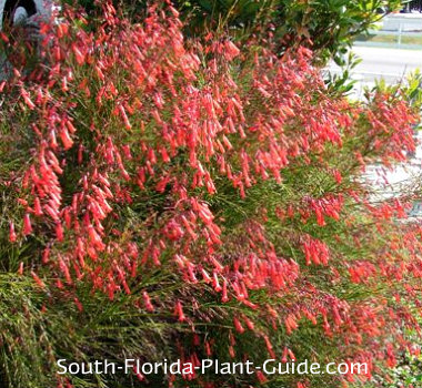 Fireer Plant on house plants for fall, house design, grass maintenance, house plants and their names, house insurance, house lighting, house real estate, house demolition, house palm tree identification, house plumbing, house plants that clean the air, tree maintenance,