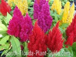 Celosia flowers in red, purple and yellow