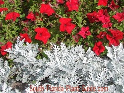 Red petunias and silvery-white dusty miller