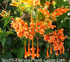 Florida flame vine flowers