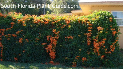 Florida flame vine covers a fence