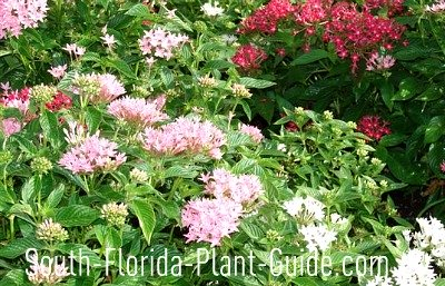 Florida perennials pink, white and red pentas