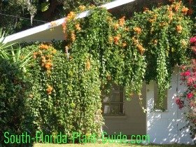 house with Florida flame vine draped along the carport