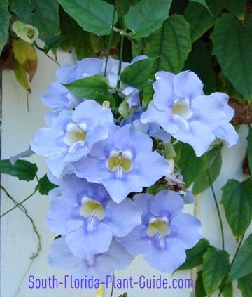 Thunbergia 'Sky Vine' blue-violet flowers