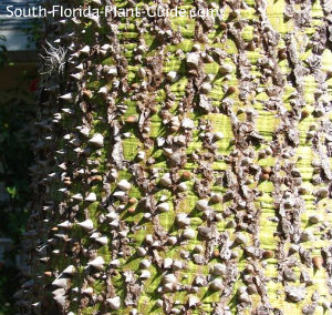 thorns on the trunk of a floss silk tree