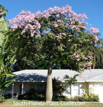 Mature floss silk tree in bloom in a front yard