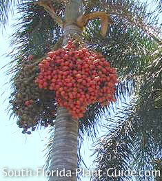 Clusters of red fruit containing seeds hanging from a palm