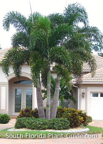 Large triple foxtail palm in front of a large home