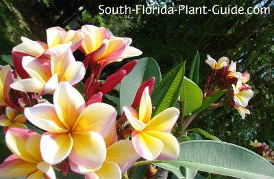 Red-pink-yellow flowers of frangipani tree