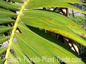 Fungus on adonidia palm leaf