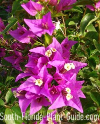 Purple bougainvillea flower bracts and tiny white flowers