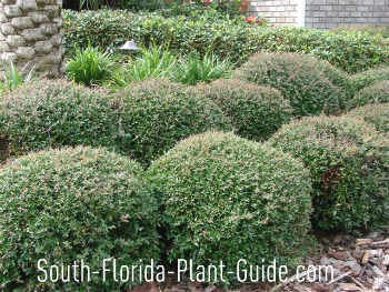 Schillings (dwarf yaupon) holly plants trimmed into ball shapes