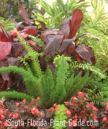 Shade garden with ferns, cordylines, and begonias