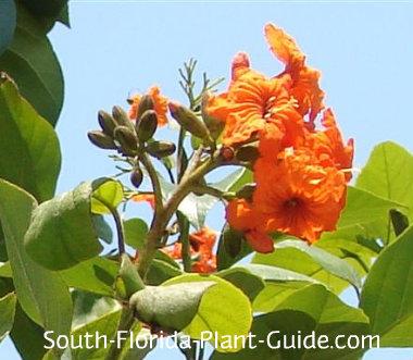 orange geiger tree flower