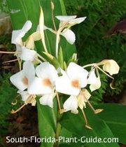 Butterfly ginger's white flower