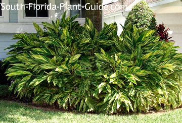 variegated ginger around a palm