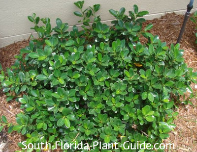 Young green island ficus shrub