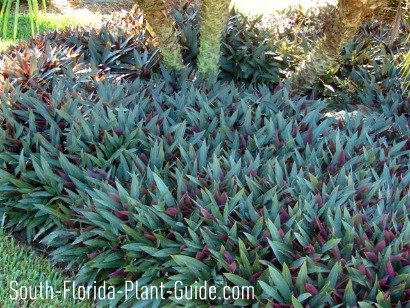 Purple and green dwarf oyster plant under a triple pygmy date palm