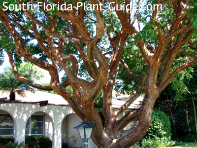 Ted bark on gumbo limbo tree branches