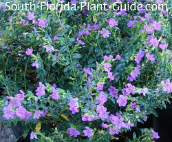 Mexican heather's purple flowers