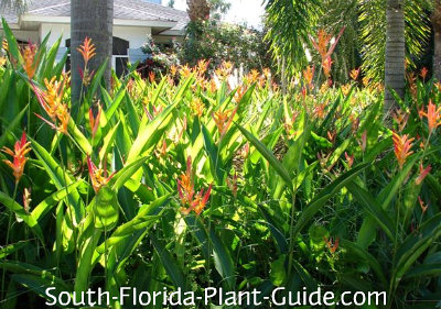 A bed of orange heliconia