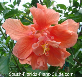 double peach hibiscus flower
