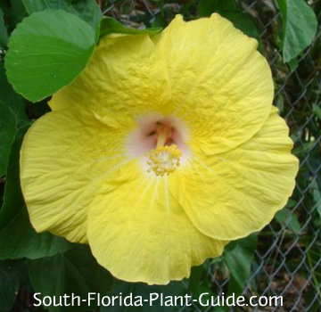 'Wally's Yellow' hibiscus flower