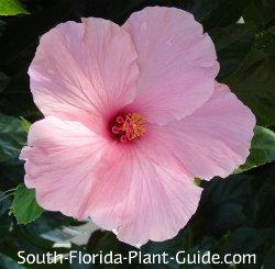 Seminole Pink hibiscus flower