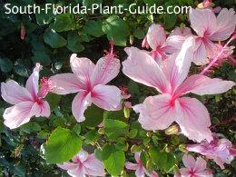 weeping hibiscus flowers