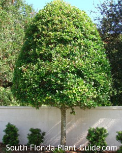 east palatka holly tree trimmed as - Holly Plant